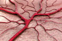Blood vessels Shutterstock paid